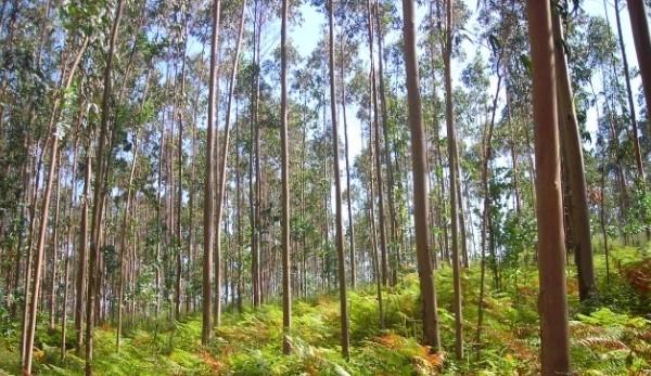 El eucalipto rbol fundamental en el campo argentino - Informacion sobre el eucalipto ...